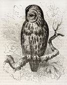 Tawny Owl old illustration (Strix aluco). Created by Kretschmer and Wendt, published on Merveilles d
