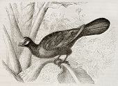 Violet Turaco old illustration (Musophaga violacea). Created by Kretschmer and Jahrmargt, published