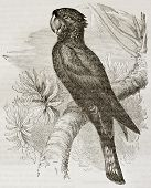 Red-taidel Black Cockatoo old illustration (Calyptorhynchus banksii). Created by Kretschmer and Jahr
