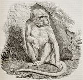 Albino monkey old illustration. By unidentified author, published on Magasin Pittoresque, Paris, 184