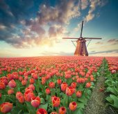 Dramatic Spring Scene On The Tulip Farm. Colorful Sunset In Netherlands, Europe. poster