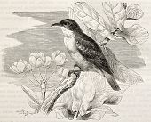 Nile Valley sunbird old illustration (Anthreptes metallicus). Created by Kretschmer, published on Me