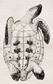 Loggerhead sea turtle tummy side old illustration (Caretta caretta). By unidentified author, published on Magasin Pittoresque, Paris, 1844