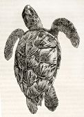 Loggerhead sea turtle old illustration (Caretta caretta). By unidentified author, published on Magas