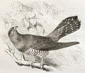 Common Cuckoo old illustration (Cuculus canorus). Created by Kretschmer, published on Merveilles de