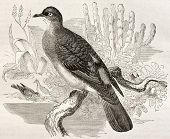 Blue-spotted Wood Dove old illustration (Turtur afer). Created by Kretschmer, published on Merveille