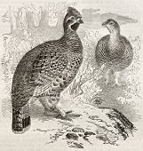 Hazel Grouse old illustration (Tetrastes bonasia). Created by Kretschmer and Illner, published on Me