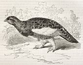 Willow Ptarmigan old illustration (Lagopus lagopus). Created by Kretschmer and Illner, published on