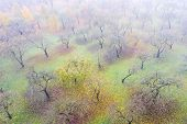 Apple Orchard In Morning Fog. Tree Full Of Yellow Apples Standing In The Countryside Orchard poster