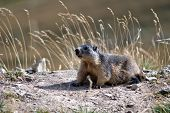 image of groundhog  - a groundhog lurks on the green meadow - JPG