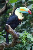 Colorful Tucan in Zurich Zoo
