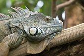 Iguana portrait (Zurich Zoo, Switzeland)
