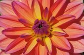 Colorful dahlia flower in the garden