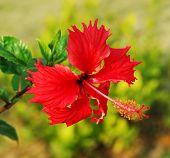 Closeup of Hibiscus Rosa
