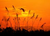 stock photo of bulrushes  - bulrushes against sunlight over sky background in sunset with a flighting bird - JPG