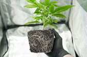 Professional Cannabis Cultivation Grow. Cbd In Marijuana Roots. In The Hands Of The Grower, The Beau poster