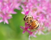 Honey Bee On A Pink Autumn Joy