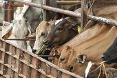 vacas na fazenda