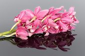 Purple Cymbidium Isolated On A Gray Mirroring Background
