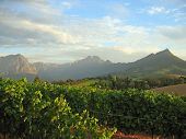 Stellenbosch Vineyard2
