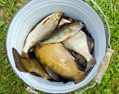 Fish Tench Roach Bass Catch In Retro Rusty Bucket