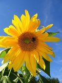13_sunflower_filtered