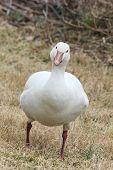 Curious Snow Goose
