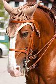 Braunen Lusitano Pferd