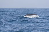 Humpback Whale Fluking Tail In The Pacific Ocean.