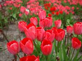 foto of angiosperms  - Tulips flower  - JPG