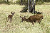 Javan Rusa Deers