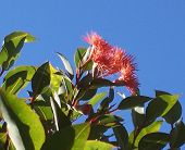 Eucalyptus Ficifolia In Flower