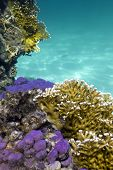 coral reef with hard and fire corals on the bottom of red sea
