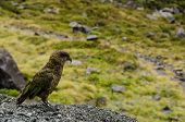 Kea Parrot, Nestor Notabilis, Standing On A Field Of Grass