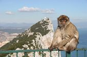 Barbary Ape On Gibraltar