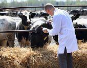 male  cow veterinarian