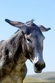 picture of burro  - Portrait of a burro with his ears back - JPG