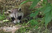 Young Raccoon, Procyon Lotor