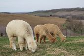Three Alpacas Grazing