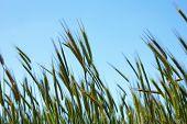 Closeup Of Ears Of Wheat On Blue Sky