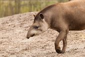 Profile Portrait Of South American Tapir