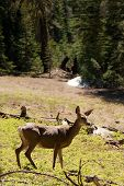 Deer In The Yosemite Park