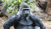 Gorilla making a serious face