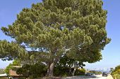 Pino grande árbol Point Loma San Diego California.