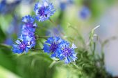 Beautiful bouquet of cornflowers on green background