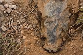 Dead Galapagos Sea Lion In Decomposition (zalophus Wollebaeki)