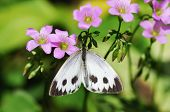 A White Butterfly Gather Honey