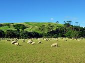 Sheep grazing in front of a green hill