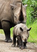 White Rhino Kalb mit Mutter