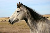 picture of dapple-grey  - Dapple Grey Horse Head Against Sky and Prairie Background - JPG
